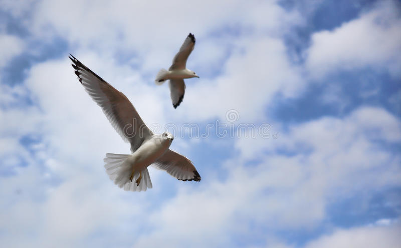 Download Seagulls in Flight stock image. Image of scavengers, pests - 11470451