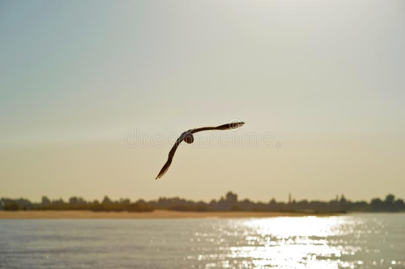 Seagulls in flight on against the blue sky and coastline royalty free stock photo