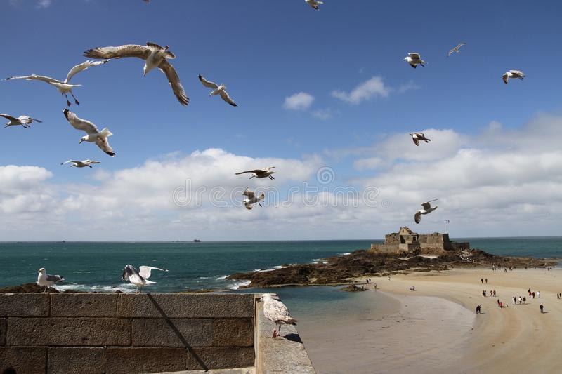 Seagulls in flight over St Malo Fort. Seagulls with island of Petit Be in the background, A landscape image with seagull prominent in the foreground. The well stock photography
