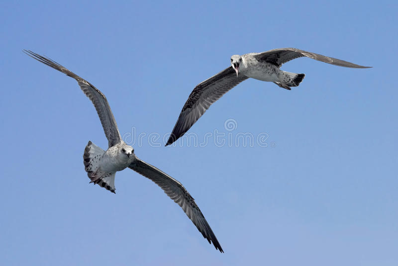 Download Seagulls In Flight Pointing At The Observer Stock Image - Image: 26258233