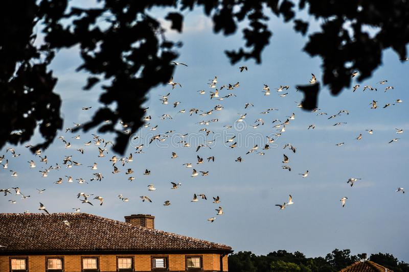 Seagulls in Flight and Sitting on Roof royalty free stock images