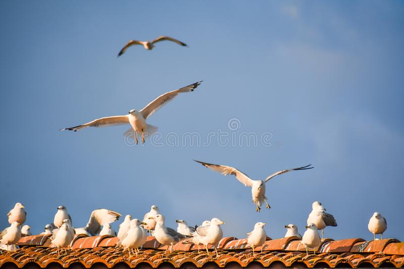 Seagulls in Flight and Sitting on Roof royalty free stock image
