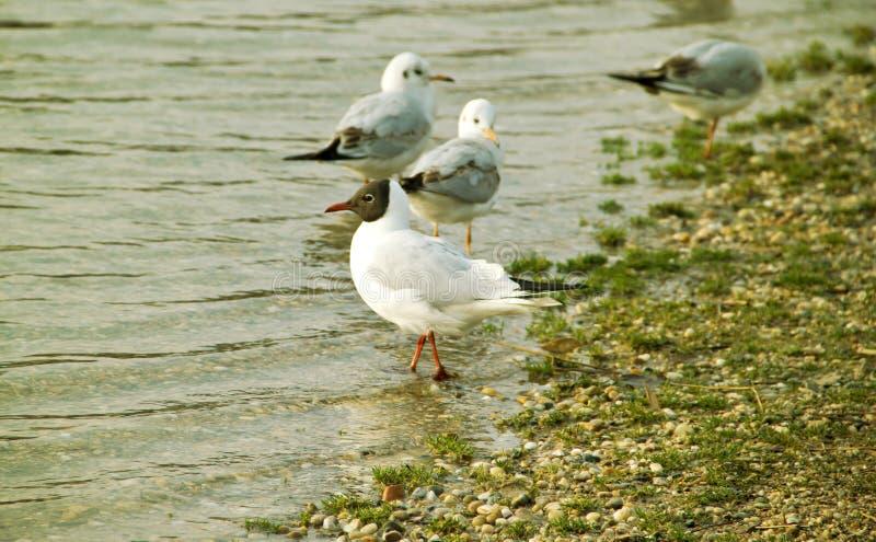 Seagulls. Flock of Seagulls on Gravel Seashore stock photography