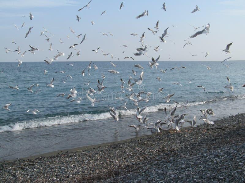 Seagulls, a flock of seagulls take flight stock image