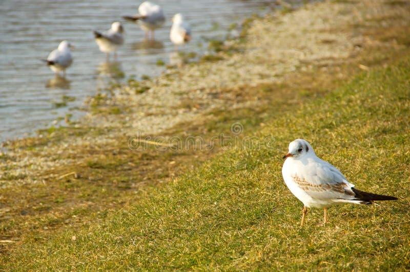 Seagulls. Flock of Seagulls on Seashore royalty free stock photography