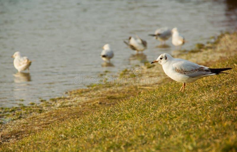 Seagulls. Flock of Seagulls on Seashore royalty free stock photos