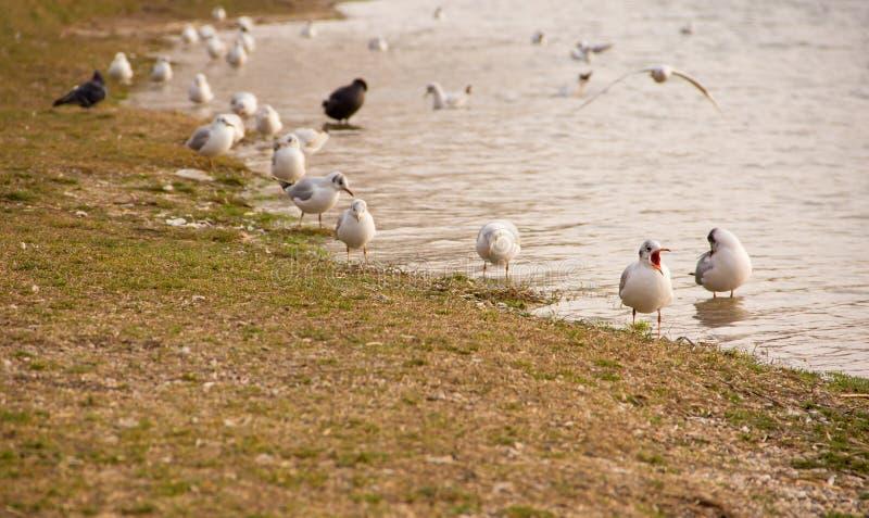Seagulls. Flock of Seagulls on Seashore royalty free stock image