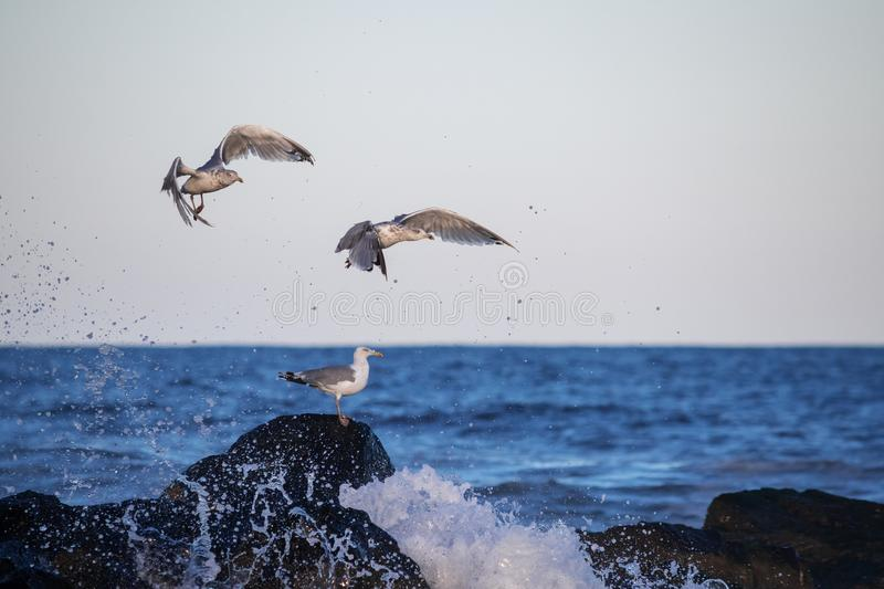 Seagulls Fly Up. Seagulls quickly fly up to avoid the ocean spray off this jetty in Avon by the Sea in New Jersey royalty free stock photos