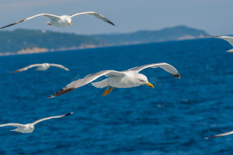 Download Seagulls flying stock image. Image of action, soaring - 38670693