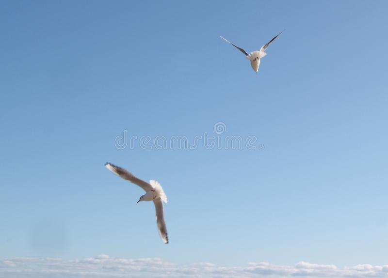 Seagulls flying in blue sky. Bright, natural, sunny, freedom, white, eye, wing, beak, flight, feathered, liberty, side, soaring, action, purity, peaceful royalty free stock image