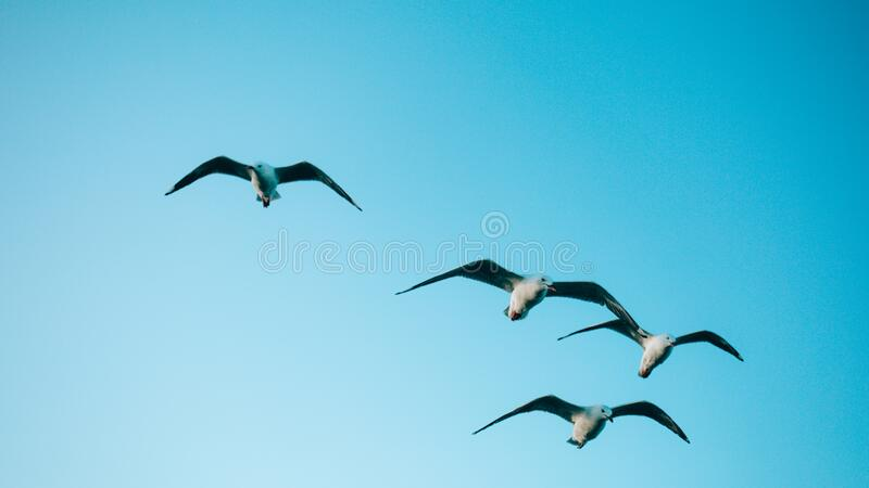 Seagulls flying in bule sky royalty free stock image