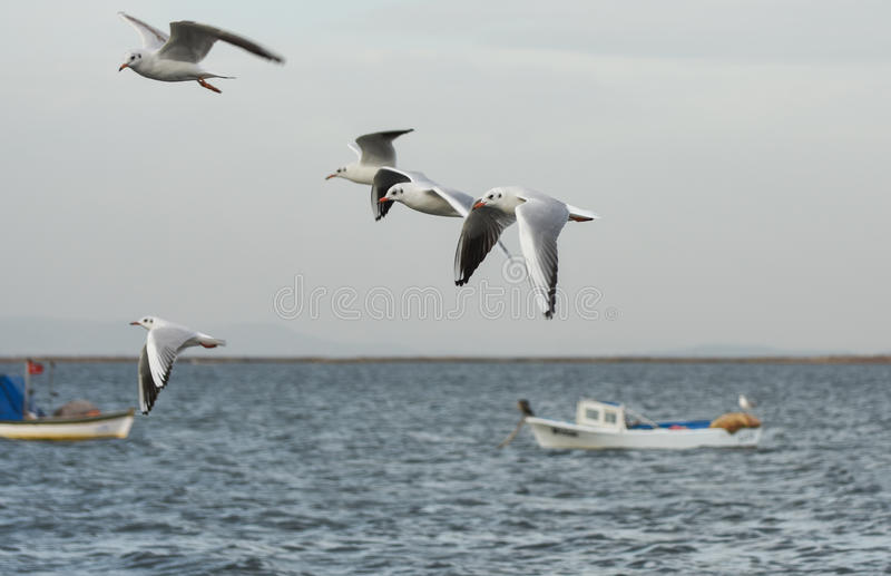 Download Seagulls Flying With Open Wings On The Sea. Stock Image - Image of independence, boat: 83701495