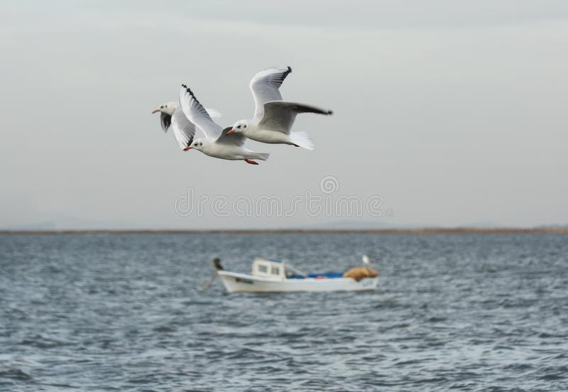Download Seagulls Flying With Open Wings On The Sea. Stock Photo - Image: 83701647