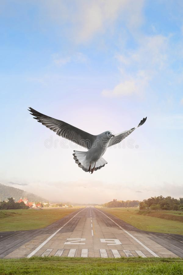 Seagulls flying over the airport runway with mountain in countryside stock photos