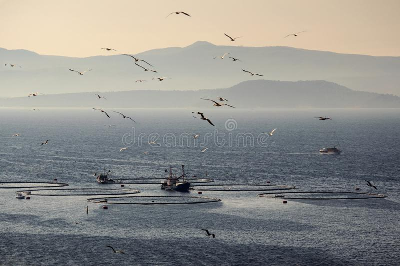 Seagulls flying over fish cages. Two fishing boats feeding tuna in cages in fish farm in front of island Brac in Croatia stock photos