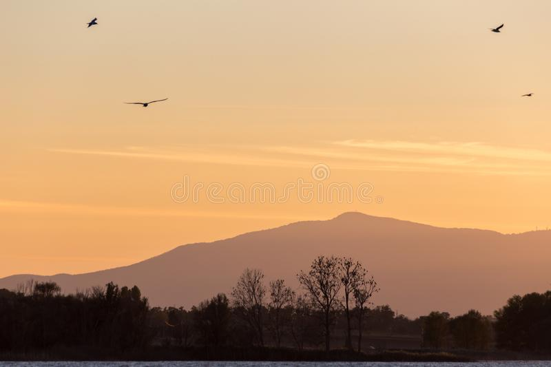Seagulls flying over a lake at sunset, with trees silhouettes an stock images