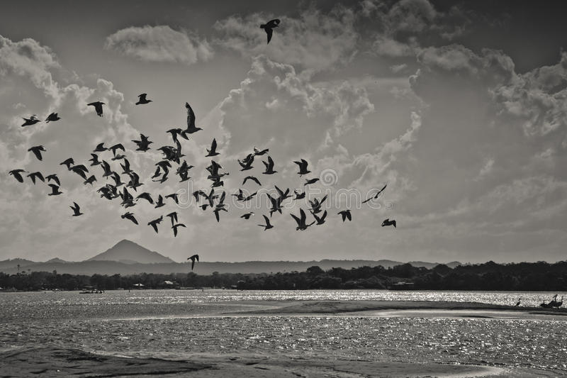 Seagulls flying over the noosa river royalty free stock photos