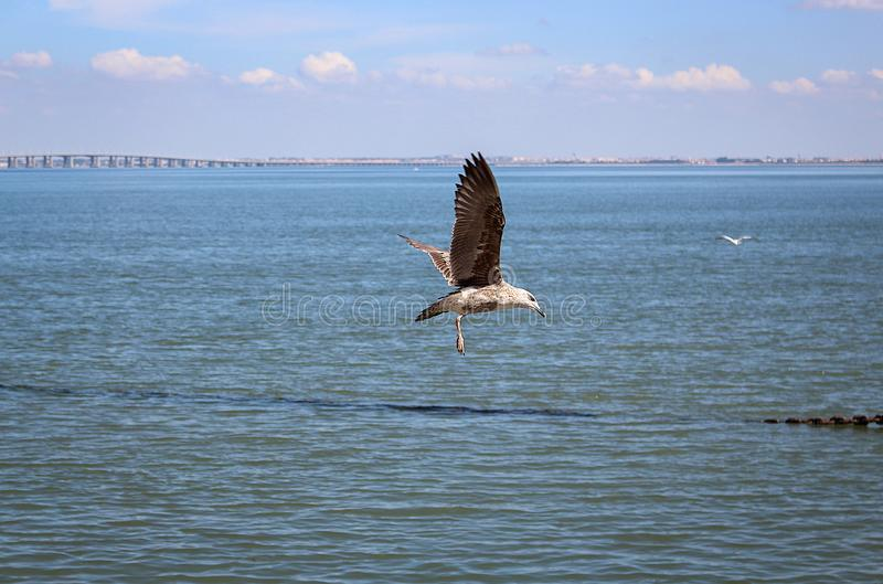 A seagulls flying over the sea royalty free stock image