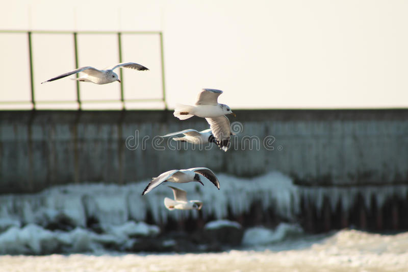 Seagulls flying over the sea royalty free stock images