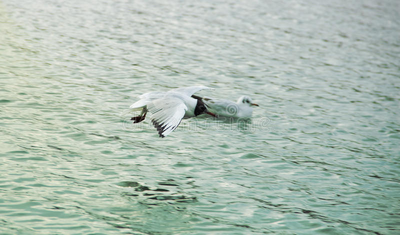 Seagulls. Flying Seagull Over Water Level stock images