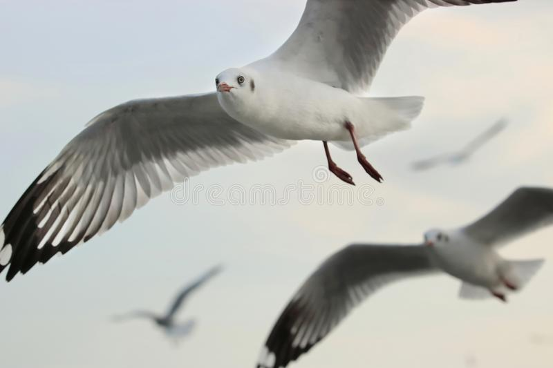 Seagulls flying in the sky Science name is Charadriiformes Laridae . Selective focus and shallow depth of field. Seagulls flying in the sky Science name is stock photo