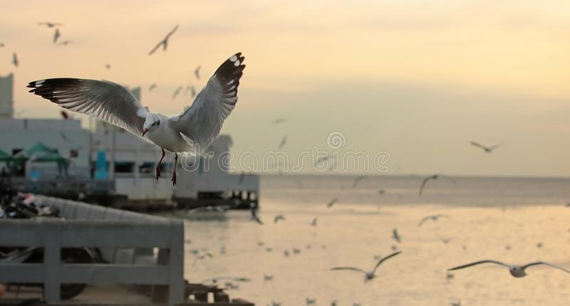 Seagulls flying in the sky during sunset time . Selective focus and shallow depth of field. Seagulls flying in the sky during sunset . Selective focus and stock photo