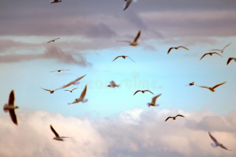 Seagulls flying at sunset. Blurred background. Sky before sunset. Fly in dream, daydream. Opportunities and beauty of flight. Many floating and gliding seagulls royalty free stock photos