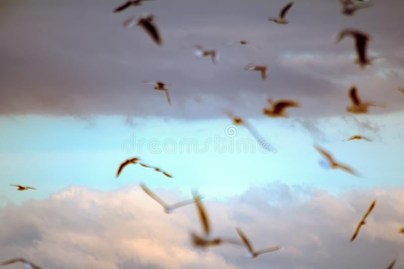 Seagulls flying at sunset. Blurred background. Sky before sunset. Fly in dream, daydream. Opportunities and beauty of flight. Many floating and gliding seagulls stock photos