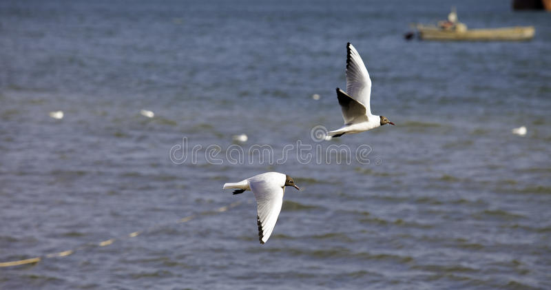 Seagulls flying. Two seagulls were flying over the sea stock photo