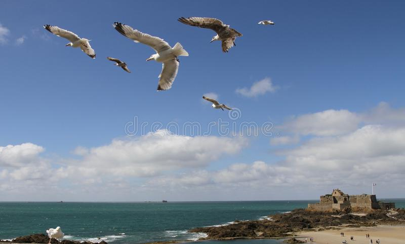 Seagulls in formation flight with island of Petit Be in the background. The well-preserved Fort du Petit Be, dating back to the reign of Louis XIV, was stock image