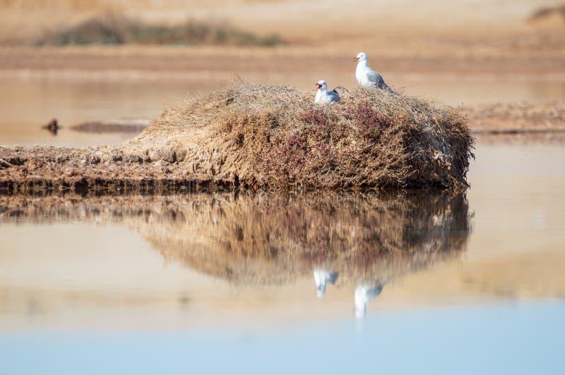 Seagulls Gniazduje na skale zdjęcie royalty free