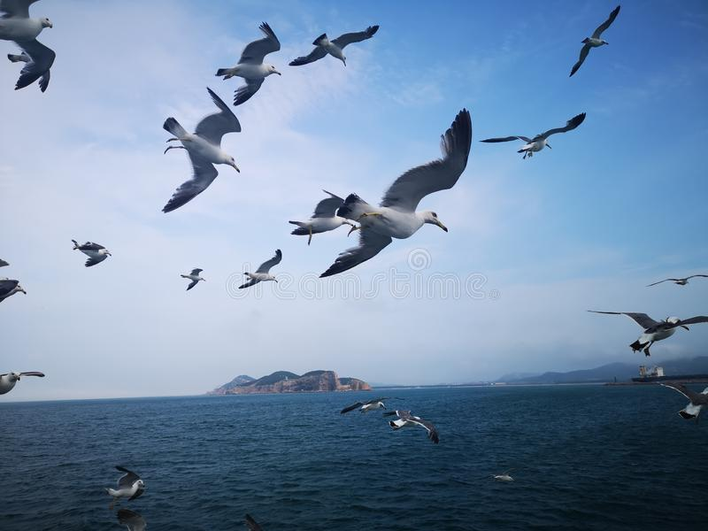 Seagulls hover over the surging waves royalty free stock photos