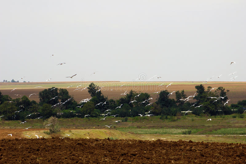 Seagulls hovering above a field. Seagulls hovering above a ploughed field royalty free stock photography