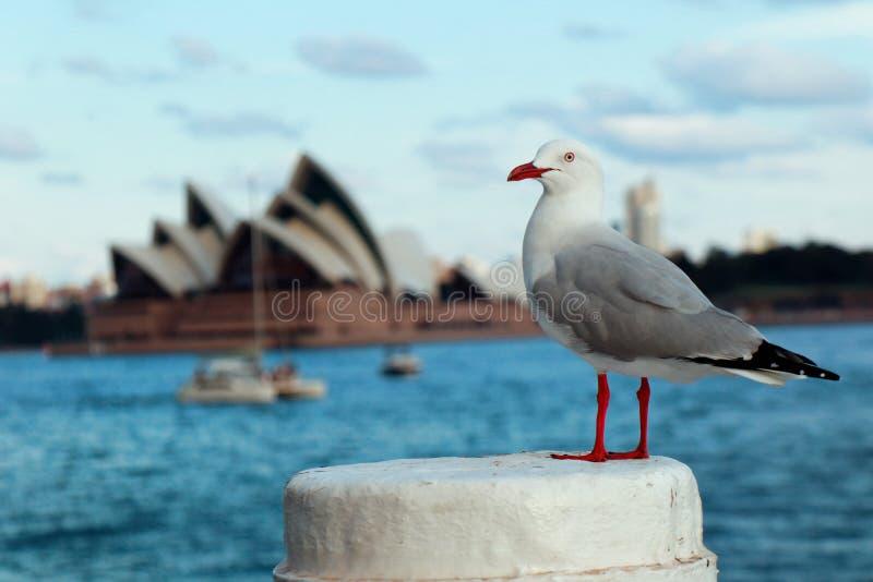 Seagulls i den Sydney hamnen royaltyfri fotografi