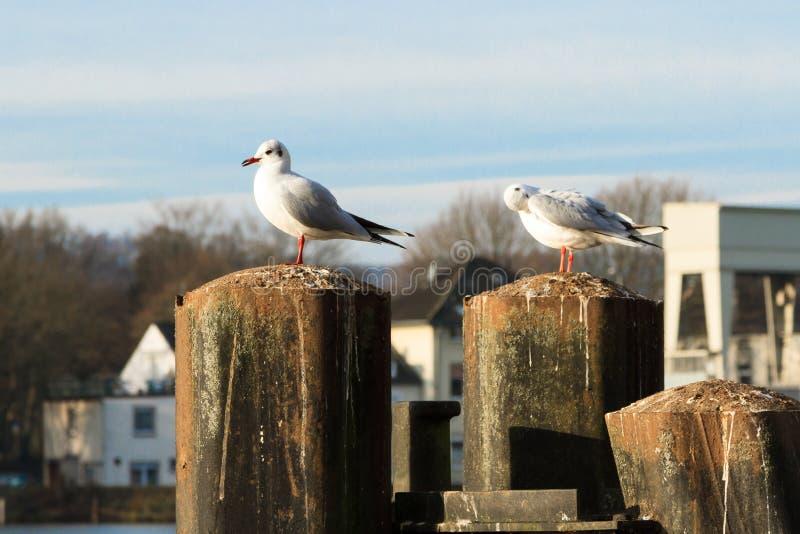 Seagulls i Essen-Kettwig på Ruhren royaltyfria bilder