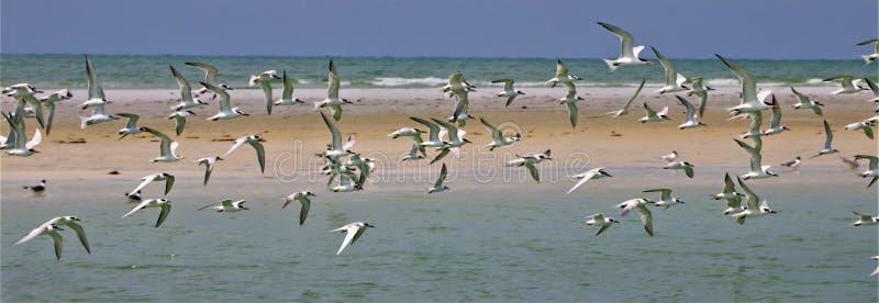 Seagulls i flykten av en sandbar i Florida fotografering för bildbyråer