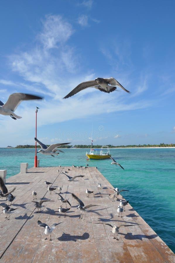 Seagulls i Mexico fotografering för bildbyråer