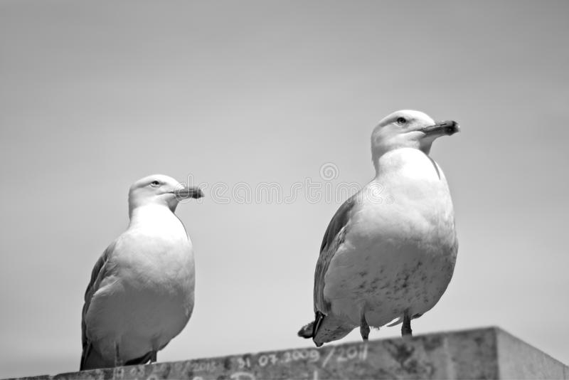 Seagulls i Tallin royaltyfri foto