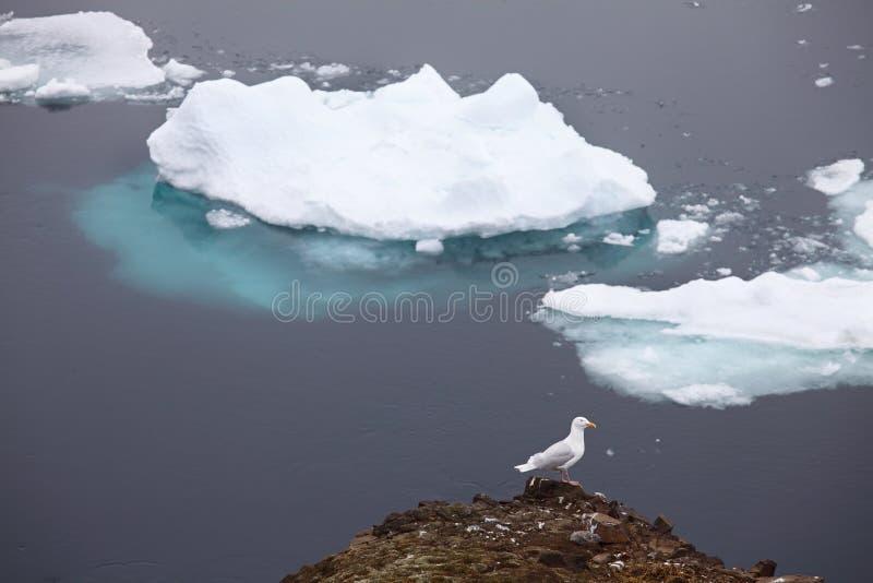 Seagulls with iceberg background royalty free stock photos