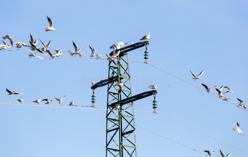 Seagulls Ichthyaetus melanocephalus na elektryczność pilonie obrazy stock
