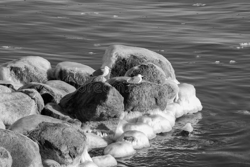 Seagulls on icy stone stock photos
