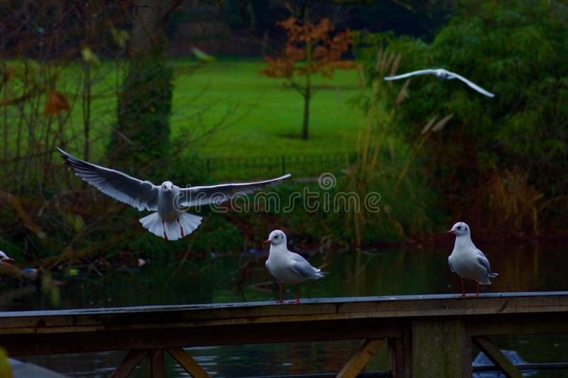 Seagulls flocking in the park. Seagulls inflight and perching by the pond in a London park royalty free stock photography