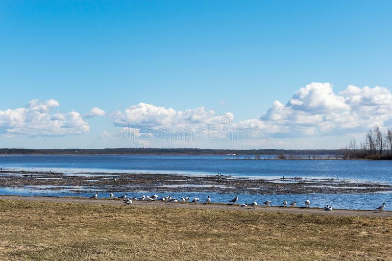 Seagulls on the lake shore on a cloudy spring day stock photography