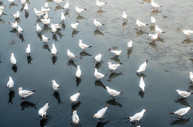 Seagulls, laridae bird in the water.  royalty free stock photos