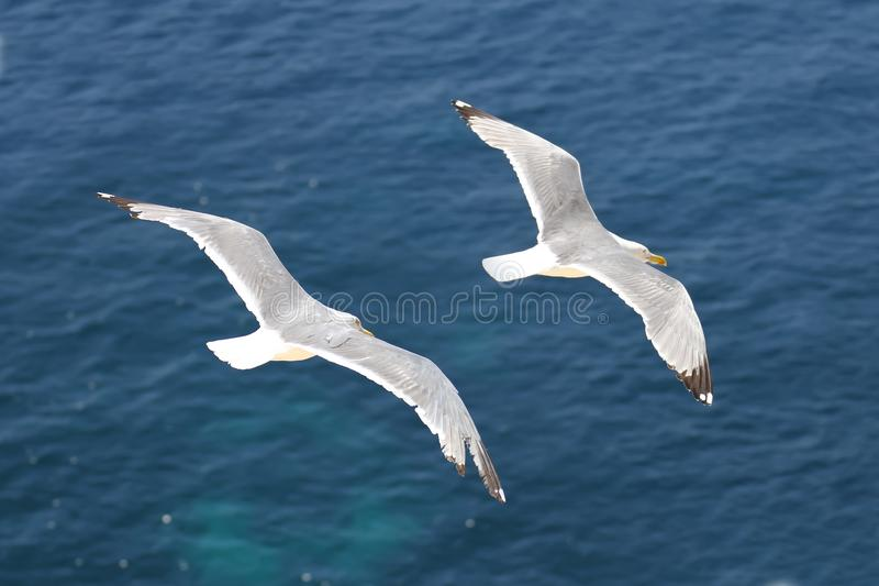 Seagulls latać obrazy stock