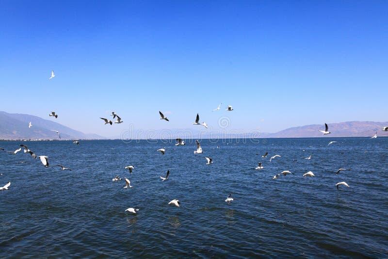 Seagulls lata na Erhai jeziorny Yunnan Dal fotografia royalty free