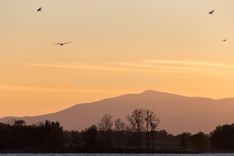 Seagulls lata nad jeziorem przy zmierzchem, z drzewo sylwetkami obrazy stock
