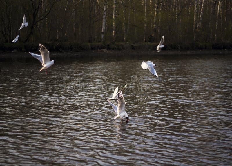 Seagulls lata nad rzek? zdjęcie royalty free