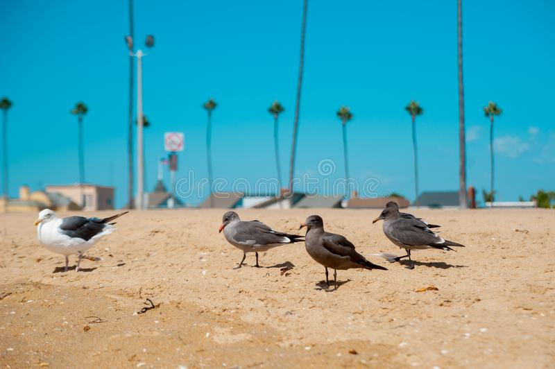 Seagulls looking at the ocean around Long Beach, California. California is known with a good wether. In September United States of America royalty free stock photo