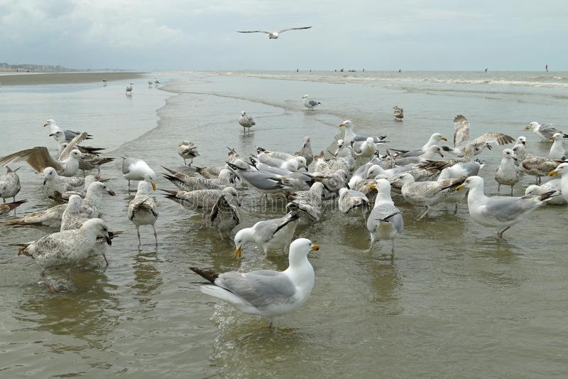 Crowd of seagulls building a circle around its prey. When seagulls are lucky they can catch the leftovers of the famous horse crab fishers of Ost Duinkerke royalty free stock photography